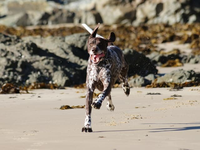 German Short Haired Pointer loving his beach run